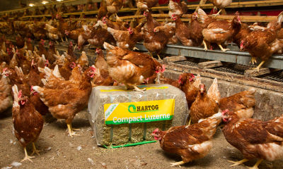 Powerfeed ration for laying hens - Hartog